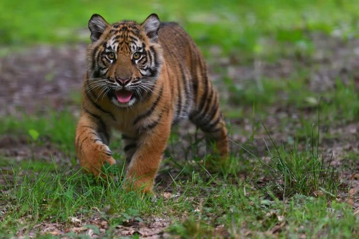 Jeune tigre de Sumatra © MNHN F-G Grandin bis
