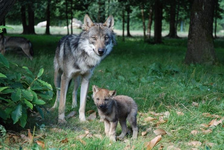 Loup Europe © MNHN Patrick Roux bis