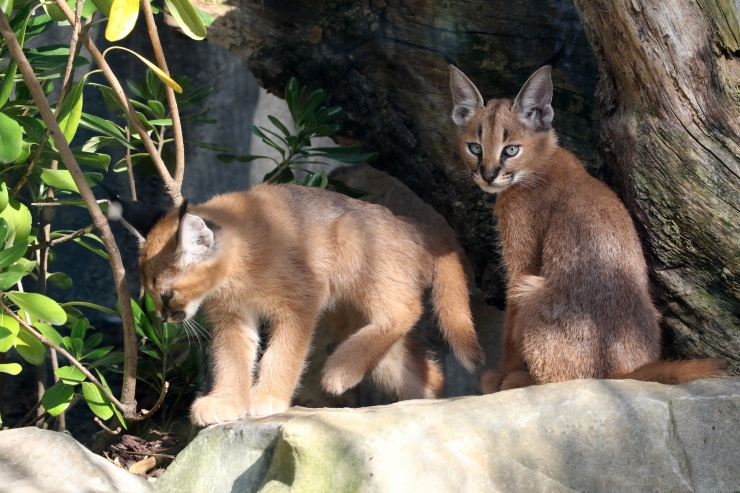 Photo jeunes Caracals 1 © E. Baril MNHN bis