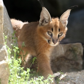 Photo jeunes Caracals 2 © E. Baril MNHN bis