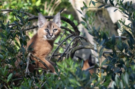 Photo jeunes Caracals 3 © E. Baril MNHN bis