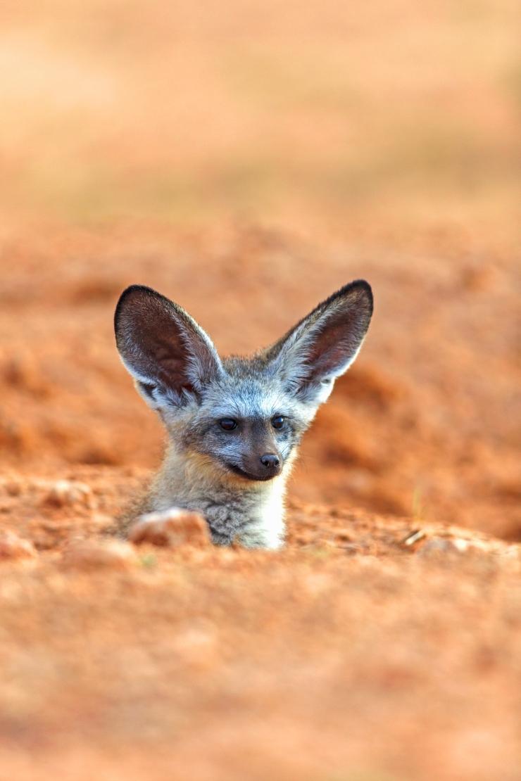 Otocyon dont la tête dépasse de la tanière. Bat-eared fox whose head is out of its den