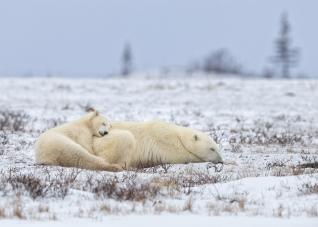Polar Bears Internatioanl Tim Auer copie