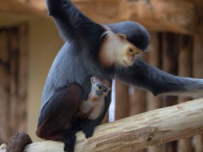 bébé langur de douc © ZooParc de Beauval